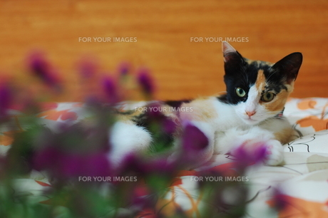 視線を投げかける三毛猫の写真素材 [FYI00420202]