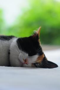熟睡している三毛猫の写真素材 [FYI00420206]