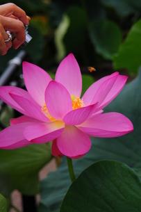 蓮の花を撮る手と蜂の写真素材 [FYI00420214]