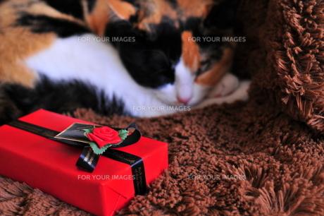 三毛猫とバレンタインチョコレートの写真素材 [FYI00420227]