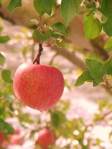りんごの写真素材 [FYI00420323]