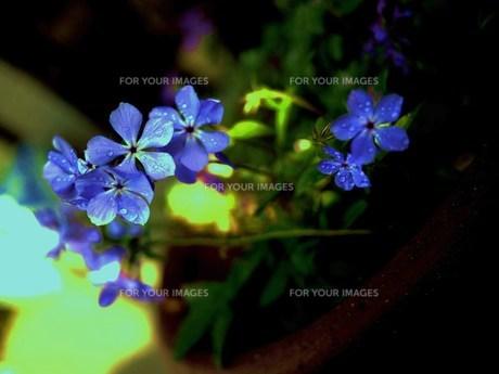 鉢植えの花の写真素材 [FYI00420365]