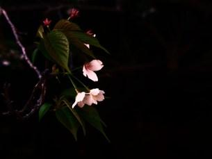 しだれ桜の写真素材 [FYI00420370]