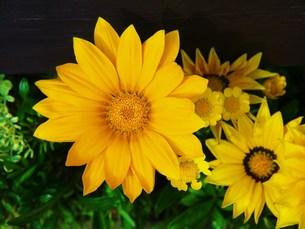 黄色い花の写真素材 [FYI00420377]