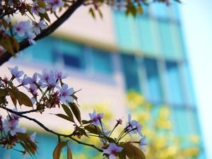 ビル街の桜の写真素材 [FYI00420458]