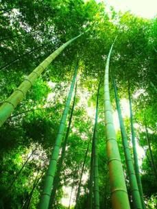 穏やかな竹林の写真素材 [FYI00420462]