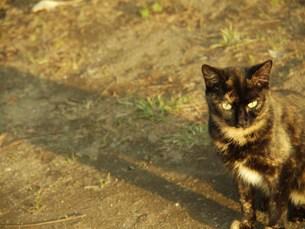 獲物を見る猫の写真素材 [FYI00420465]