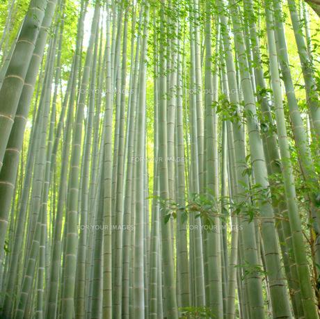 若竹の素材 [FYI00420499]
