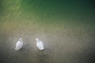 家鴨と池の写真素材 [FYI00420587]