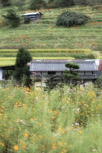 コスモスと日本古家の写真素材 [FYI00420591]