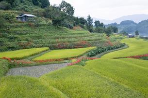 田んぼのある風景の写真素材 [FYI00420603]