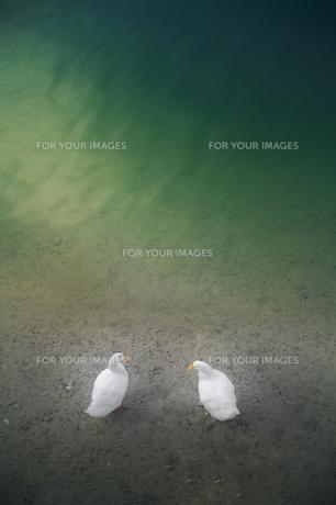 家鴨と池の素材 [FYI00420606]
