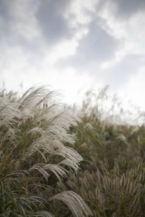 ススキの草原の写真素材 [FYI00420607]