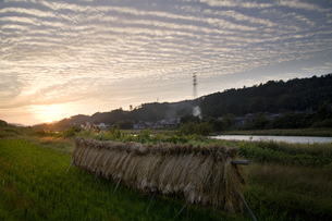 稲掛けと鱗雲の写真素材 [FYI00420620]