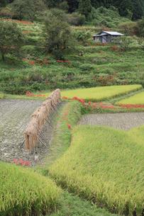 稲作風景の写真素材 [FYI00420624]