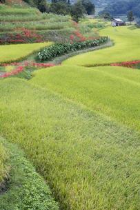 稲作風景の写真素材 [FYI00420625]