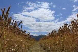 小麦畑の写真素材 [FYI00420661]