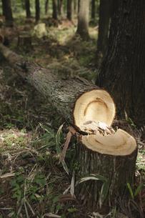 杉の伐採の写真素材 [FYI00420664]