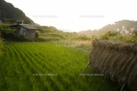 稲木と日没の素材 [FYI00420674]