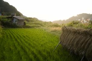 稲木と日没の写真素材 [FYI00420674]