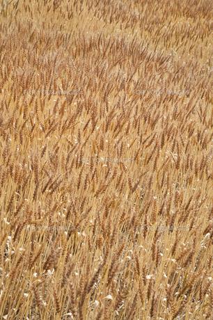 麦畑の素材 [FYI00420676]
