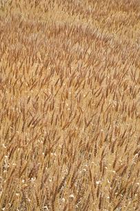 麦畑の写真素材 [FYI00420676]