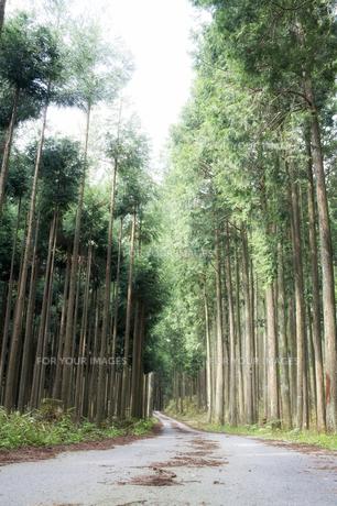 杉林の林道の素材 [FYI00420683]