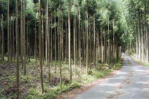 杉林の林道の素材 [FYI00420687]