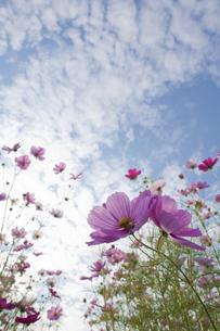 青空とコスモスの写真素材 [FYI00420719]