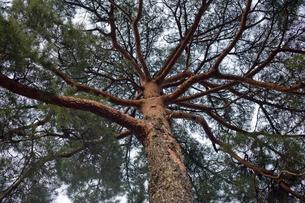 マツの大木の写真素材 [FYI00420721]