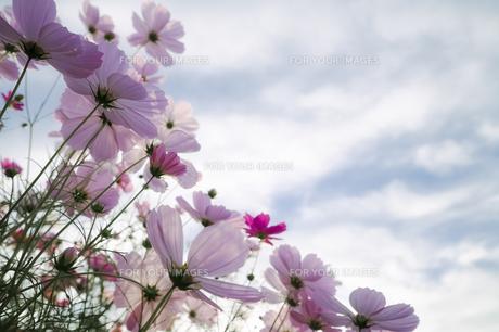空に向かう秋桜の素材 [FYI00420723]