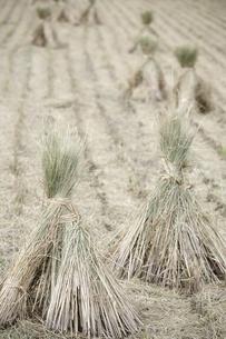 稲刈りの写真素材 [FYI00420724]