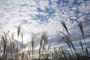 ススキの高原と鱗雲の写真素材 [FYI00420758]