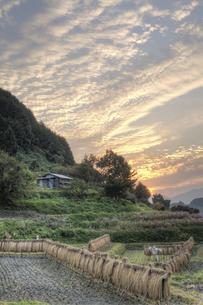 稲木と夕暮れの写真素材 [FYI00420759]