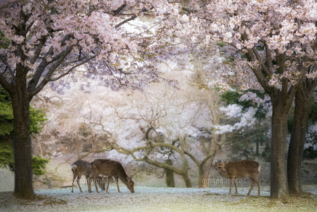 サクラと鹿の奈良公園の素材 [FYI00420767]