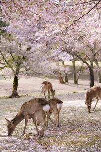 桜と鹿の素材 [FYI00420788]