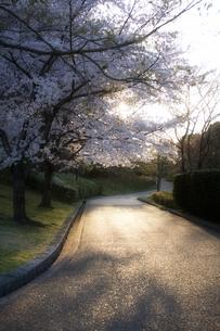 桜と西陽道の素材 [FYI00420804]
