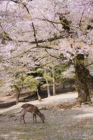 桜と鹿の素材 [FYI00420807]