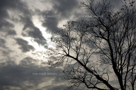 冬木のシルエットの素材 [FYI00420835]