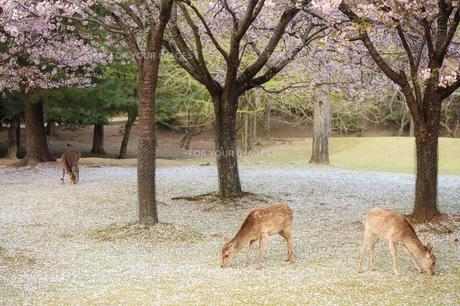 落ち桜を食べる鹿の素材 [FYI00420839]
