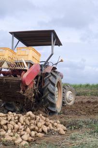 紅芋の収穫の写真素材 [FYI00420844]