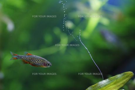 ミクロラスボラ・ハナビと酸素をだす水草の素材 [FYI00420862]