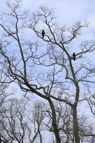 木にとまるカラスの写真素材 [FYI00420863]