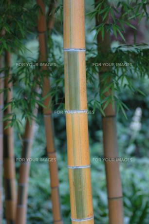 竹の写真素材 [FYI00420918]