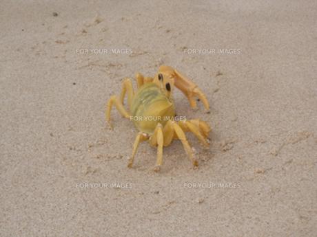 砂浜の黄色いカニの写真素材 [FYI00420928]