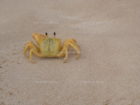 ビーチの黄色いカニの写真素材 [FYI00420932]