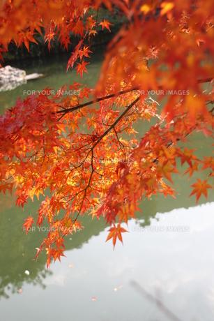 紅葉の素材 [FYI00421103]