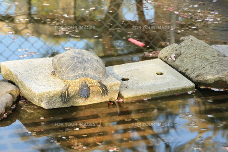 池に飛び込もうとするカメの素材 [FYI00421120]