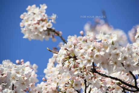 桜の素材 [FYI00421124]