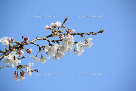 桜と青空の素材 [FYI00421127]